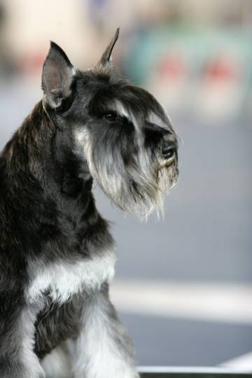 питомник собак цвергшнауцер