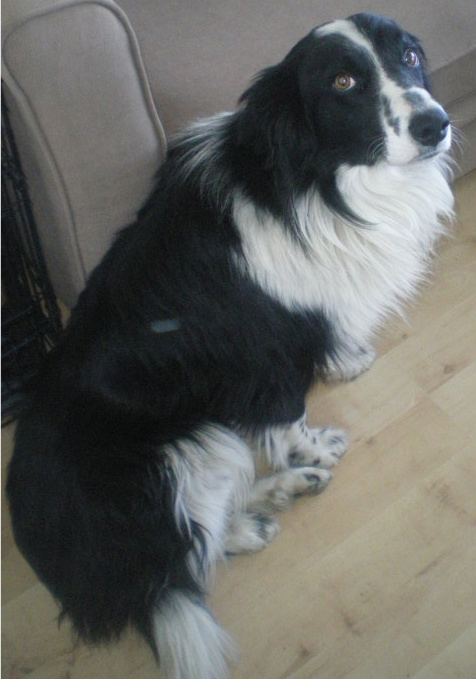 Blue 2 3 Year Old Male Border Collie Dog For Adoption