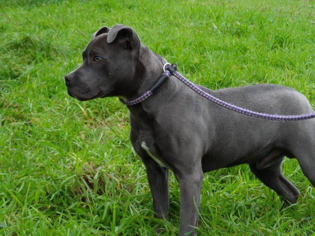 Mini American Staffordshire Terrier Blue