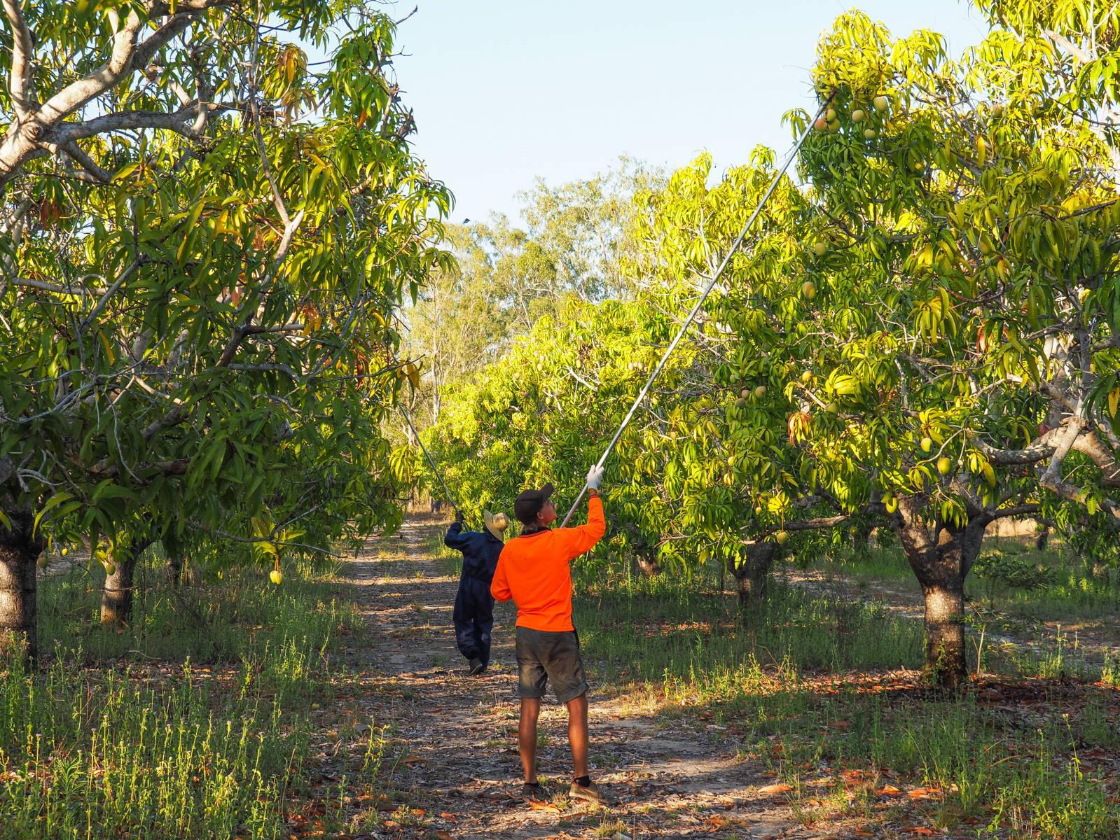 fruitpicking australie