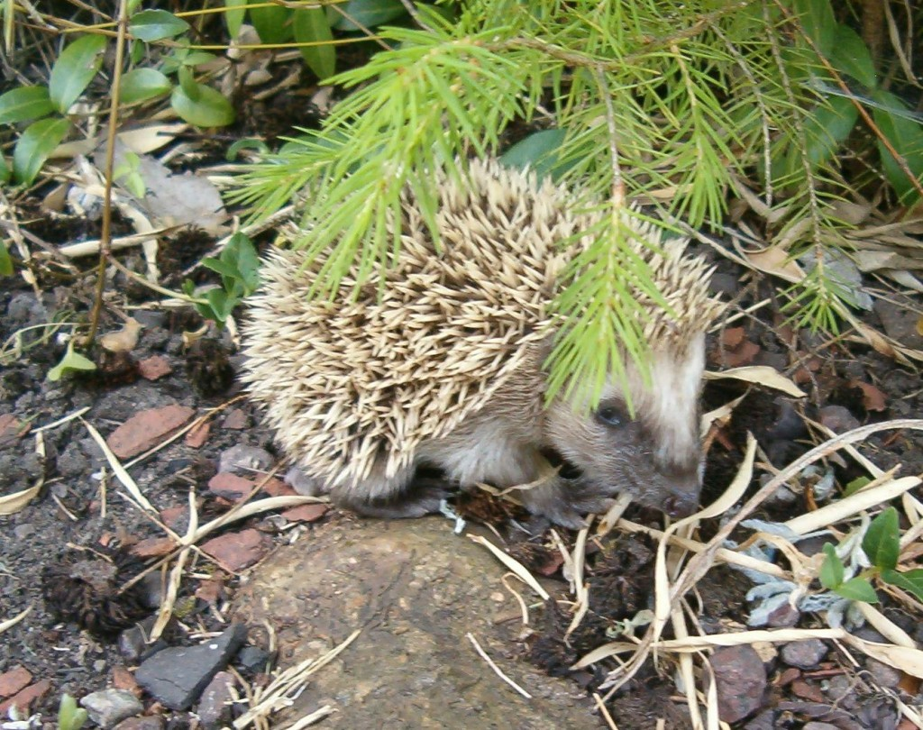 Justice For Hedgehog Allegedly Killed By Cruel Research
