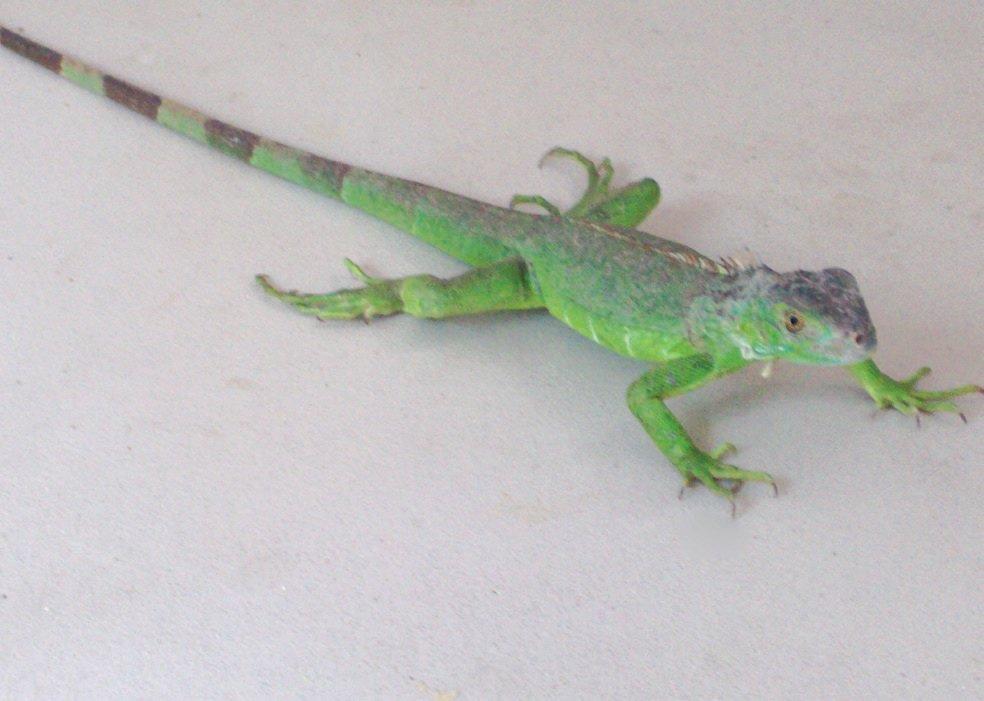 Tropical iguana also care sheet petco rh