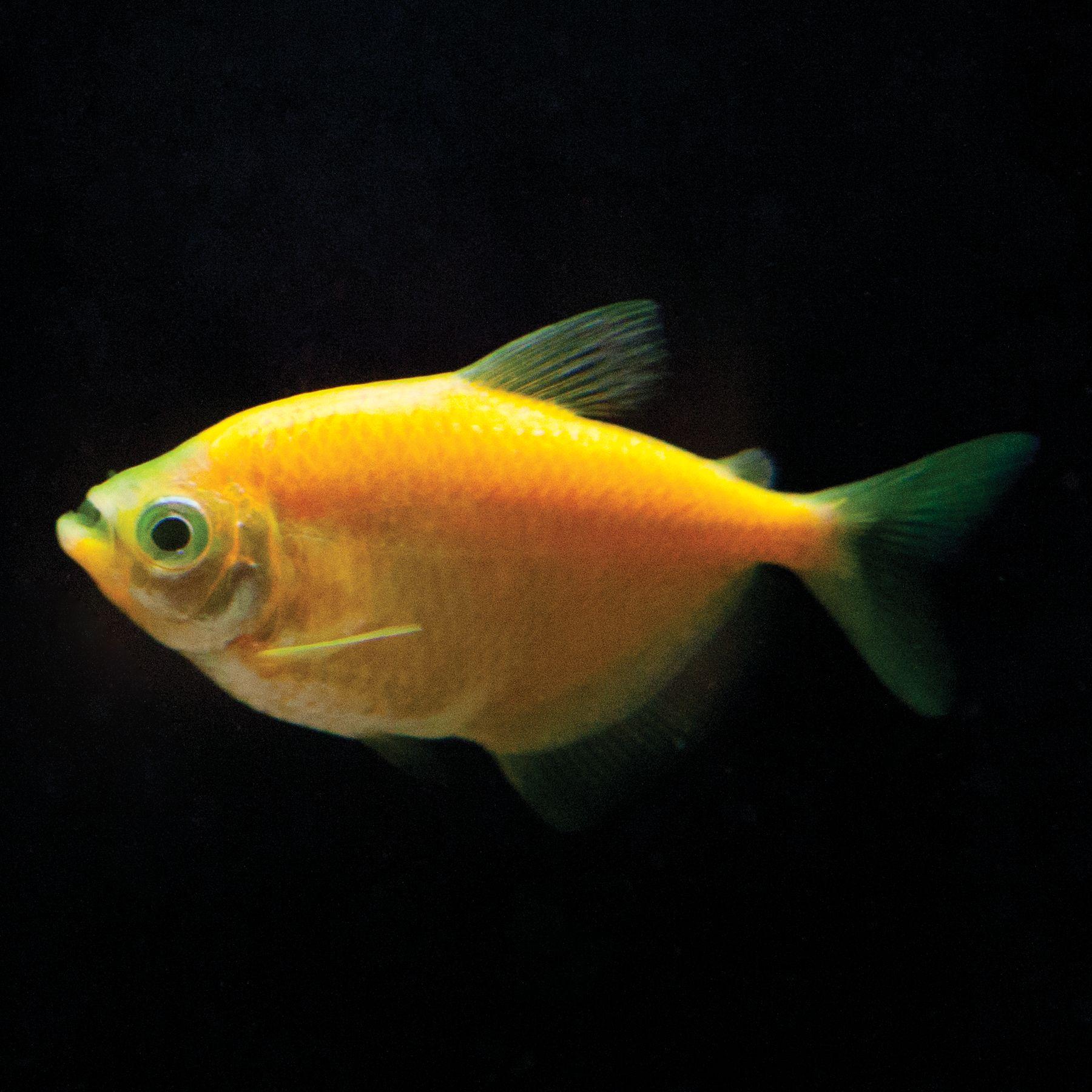 glofish sunburst tetra