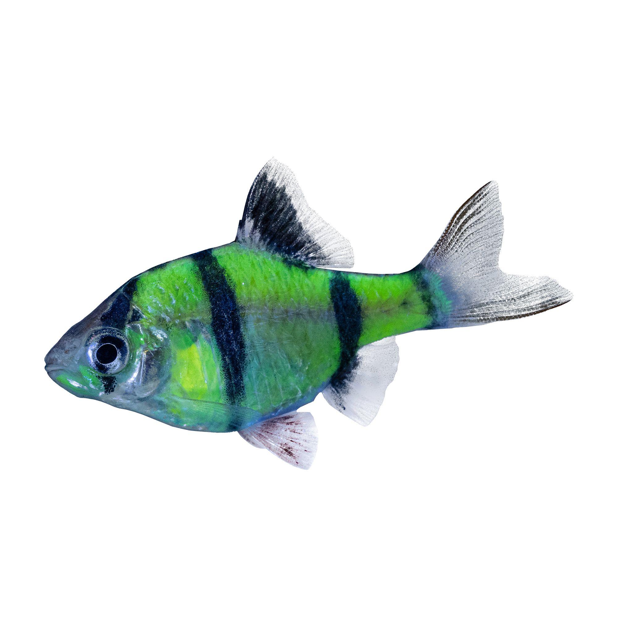 glofish electric green glofish
