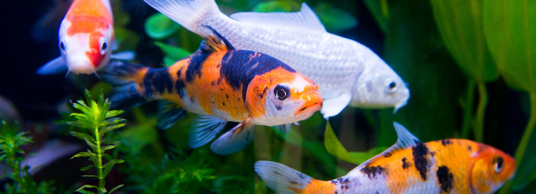 koi fish care pond