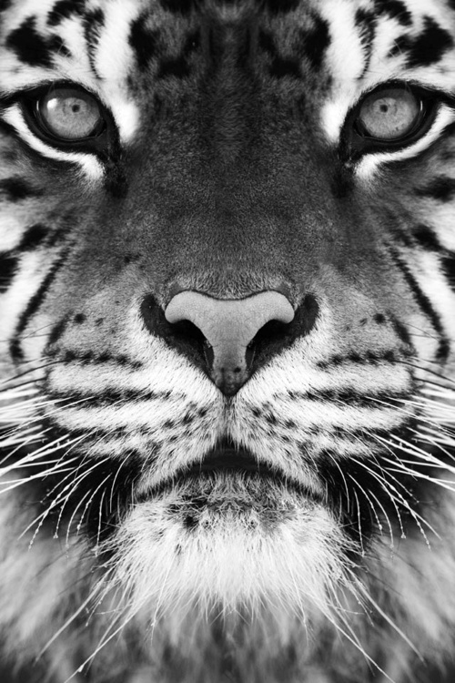 Adidas Wallpaper Iphone 7 Animal Awesome Black And White Eyes Image 698295 On