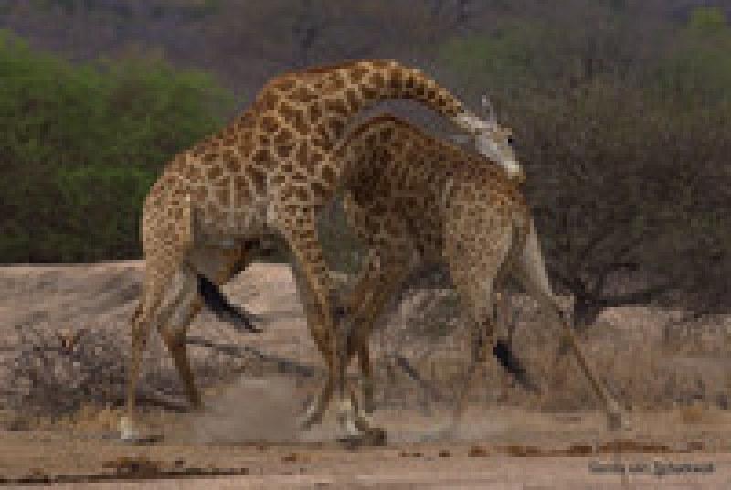 Жирафы хотели подраться, но запутались — забавное видео