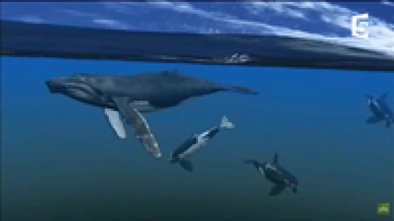 Видео: Косатки против китов — невероятная история спасения