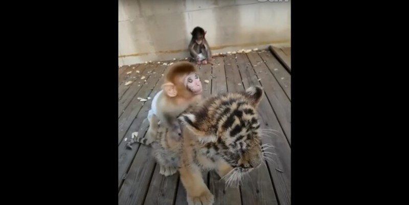 Видео: Тигренок катает на спине маленькую обезьянку