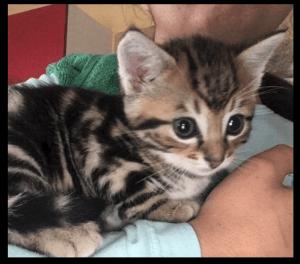 Chats de Chatillon kitten