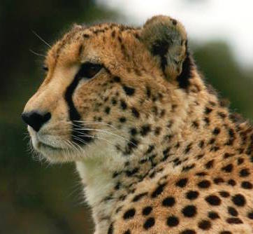 Up Close and Personal With Cheetahs