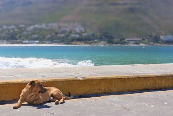 Dog resting at Hout Bay Harbour