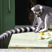 Ring-tailed Lemurs, they say, do not like to move it, move. Maybe at the Lok Kawi Zoo they do!