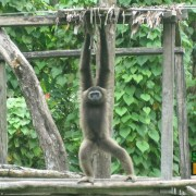A gibbon having some fun on the island-enclosure at Lok Kawi Wildlife Park