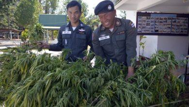Photo of В Таиланде планируют открыть первую легальную ферму конопли