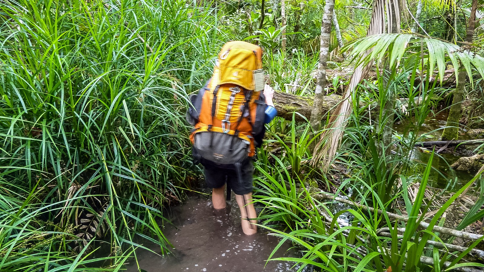 a photo of a hiker walking through a swamp on hinchinbrook island.
