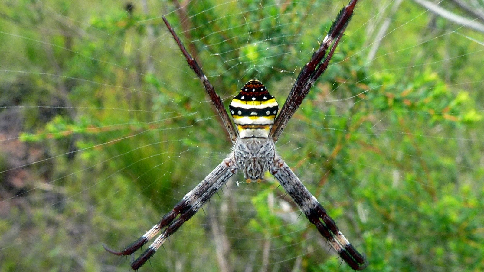 a photo of a southern cross spider.