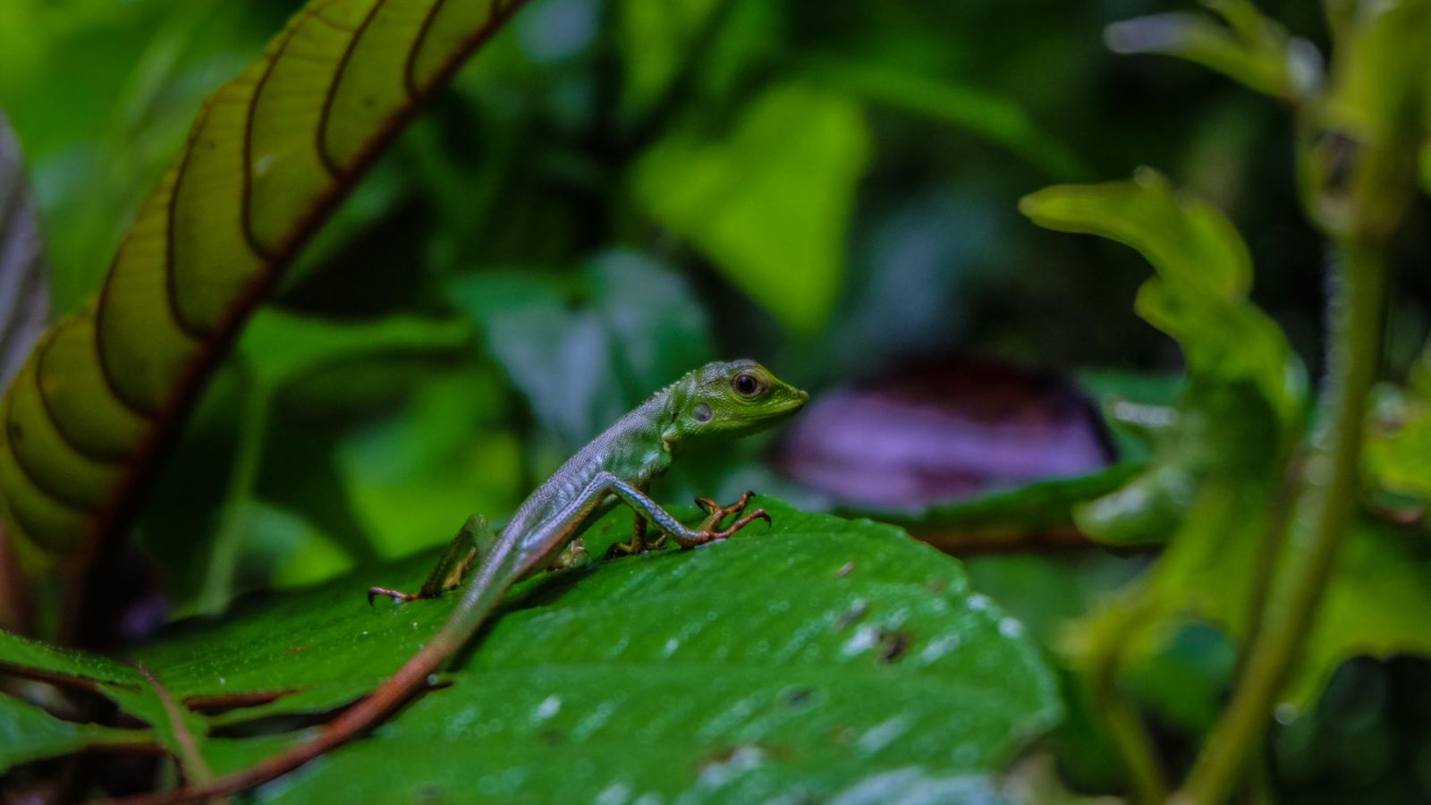 photo of a iguana in gunung leuser national park, sumatra.