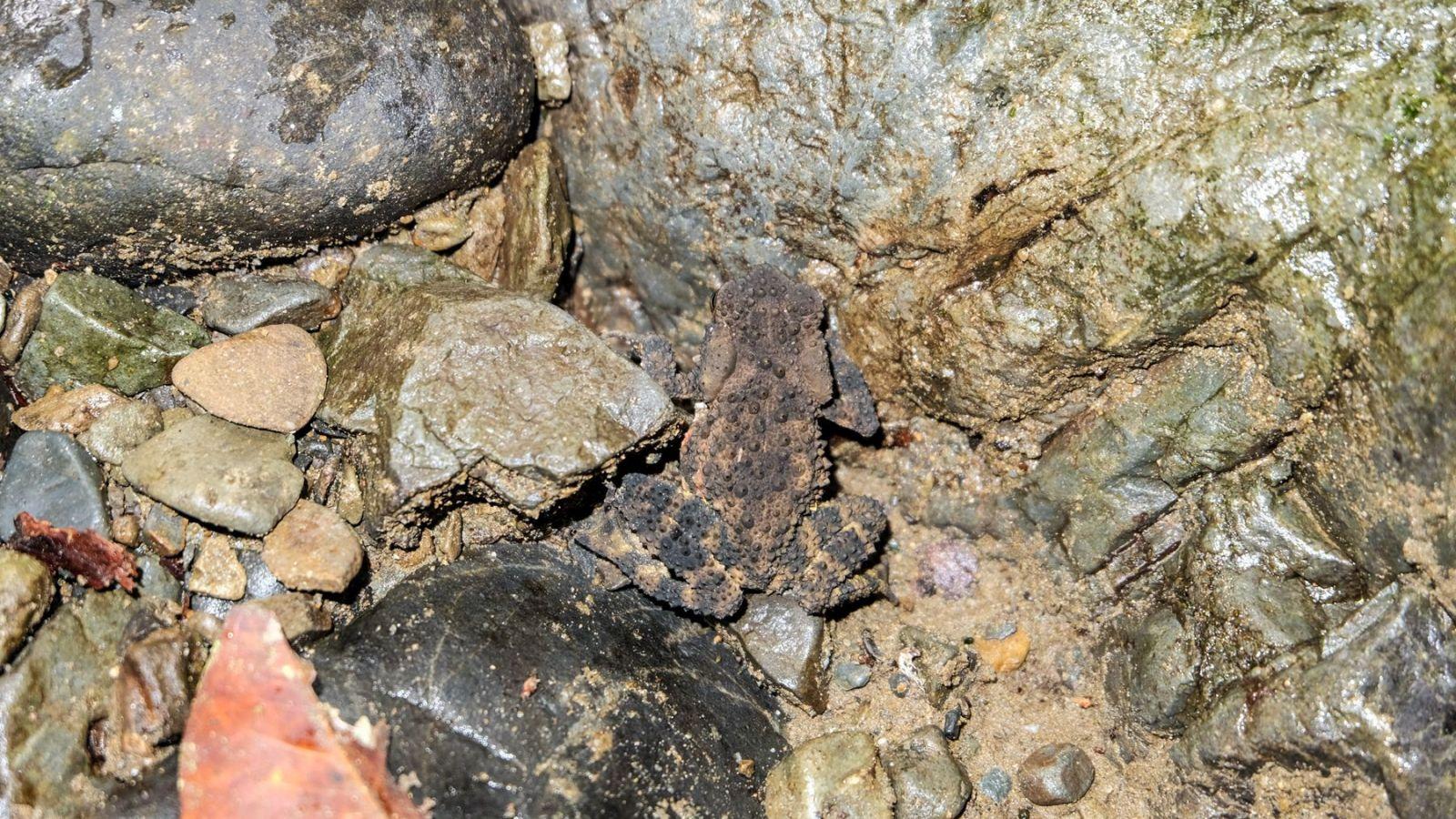 a photo of a toad in gunung leuser national park, sumatra.