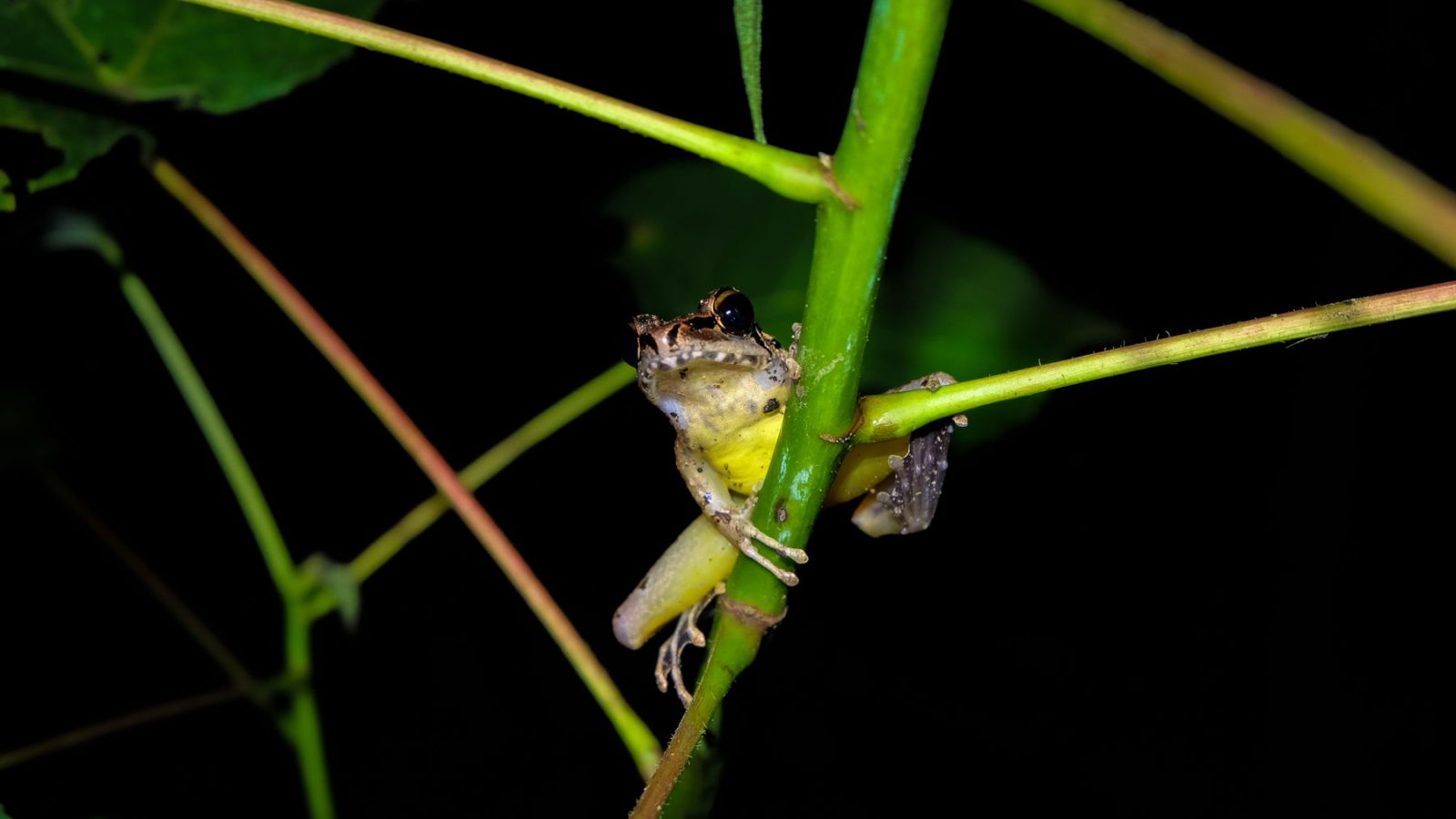 a photo of a tree frog in gunung leuser national park.