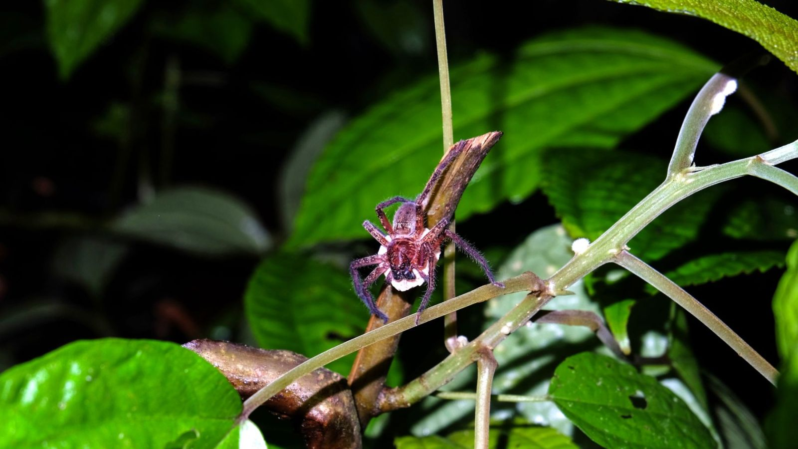 a photo of a spider carrying a cocoon in gunung leuser national park.