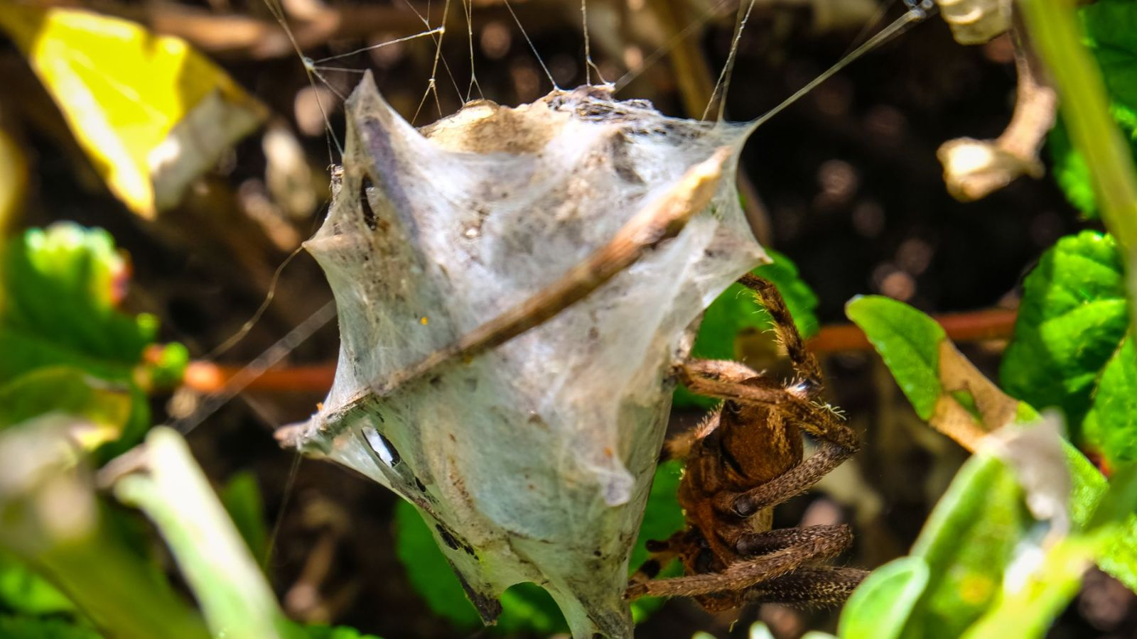 a photo of a huntsman spider egg cocoon on the otter trail in south africa.
