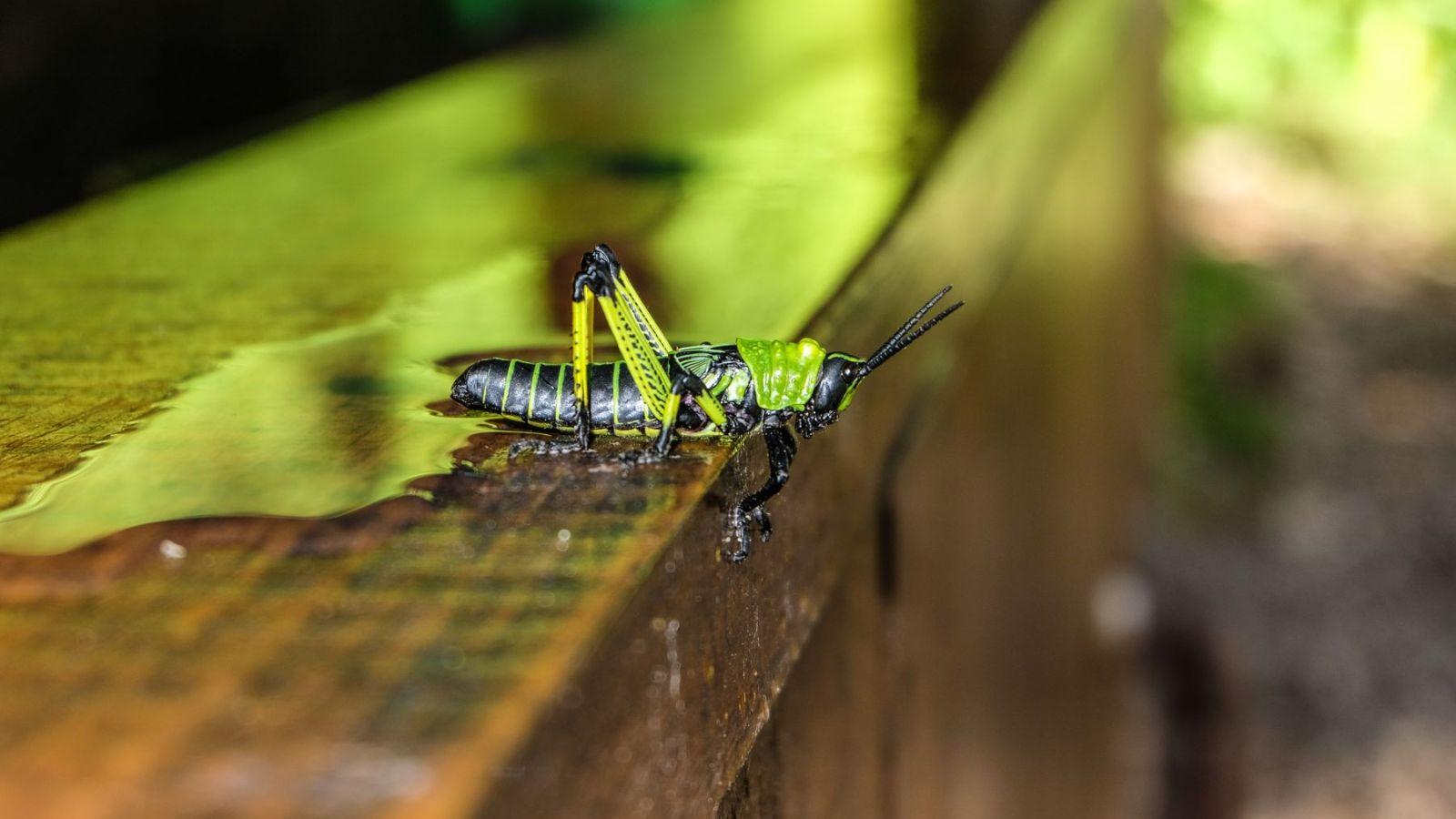 a photo of a grasshopper in south africa.
