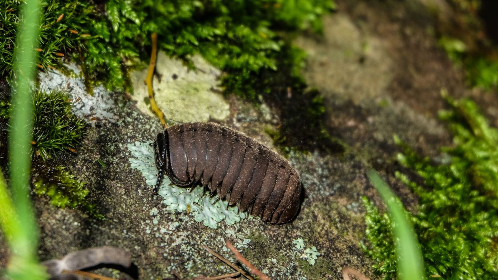 a photo of a Isopod on the amathole trail in south africa.