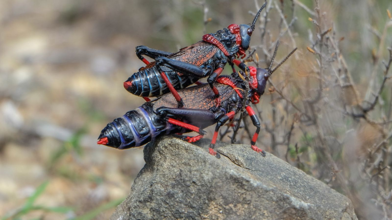 a photo of mating locusts on the amathole trail in south africa