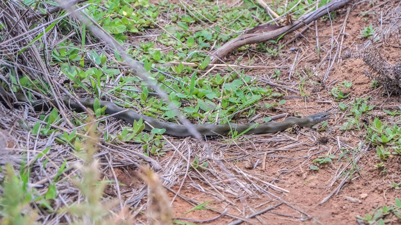 a photo of a snake on the amathole trail in south africa.