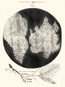 Plant cells, as seen by Robert Hooke c. 1665.