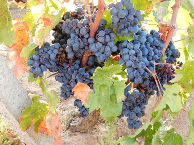 Wine grapes, Sardinia