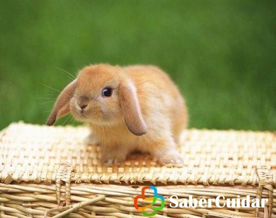 Conejo enano belier sobre una cesta