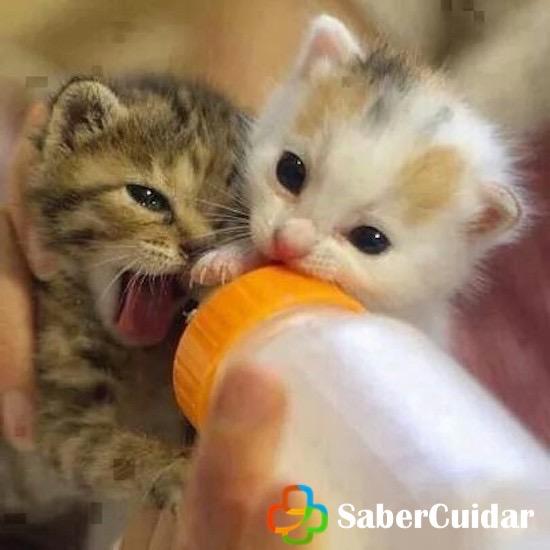 Alimentando a gato bebe con biberón