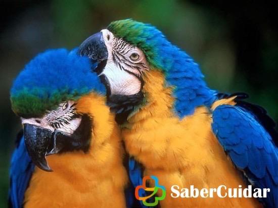 Guacamayos azul y amarillo acicalándose