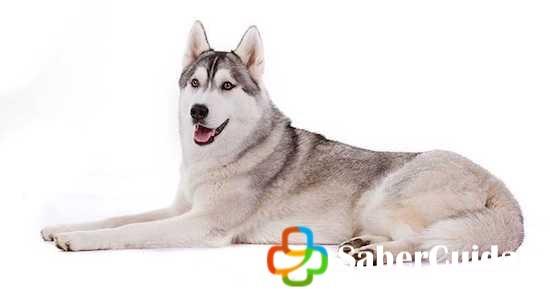 Husky-siberiano gris, acostado