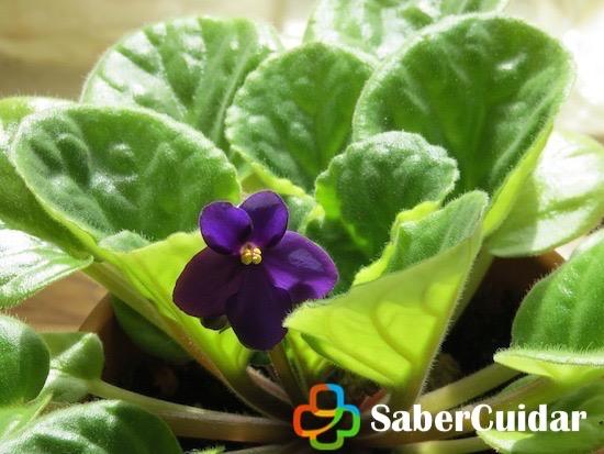 Violeta en jardín