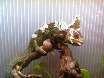 Como cuidar un camaleón