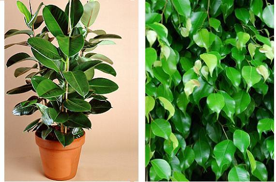 Como Cuidar Un Ficus Recomendaciones Y Consejos2019