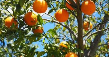 como cuidar un naranjo