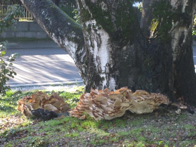 Cogumelo Trametes versicolor em Guimarães (2/4)