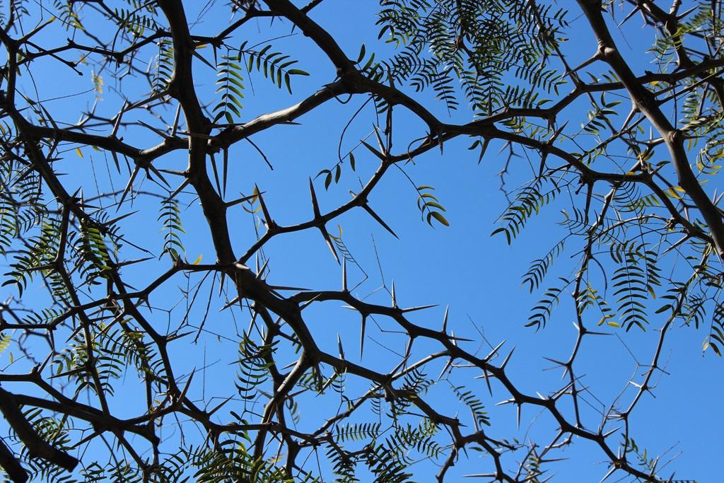 Detalle de Acacia de tres espinas. Castillo de Montizón