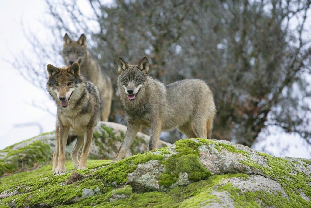 manada-de-lobos-ibericos-autor-juan-jose-gonzalez-vega
