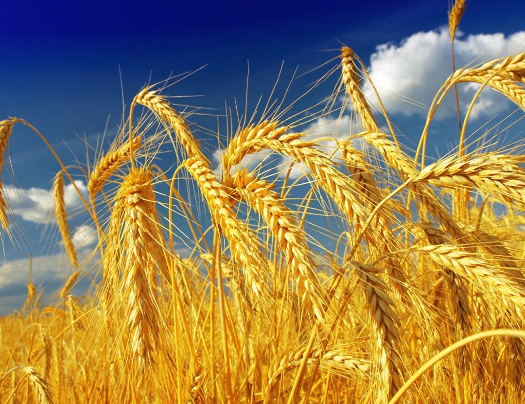El mejor trigo de La Mancha