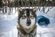 Traineau à chiens-13