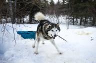 Traineau à chiens-3