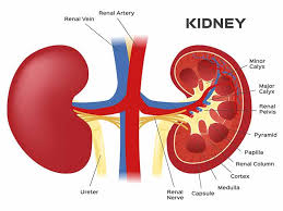 Top Tips to Protect Your Kidneys and Keep them Healthy