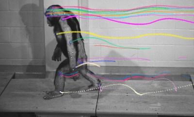 andar-chimpances