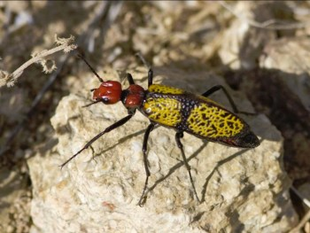 Iron-Cross Blister Beetle