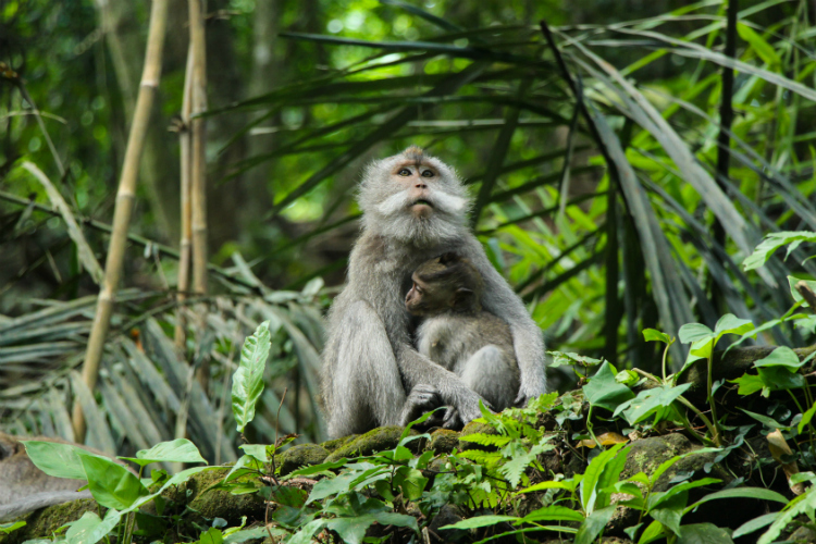 ubud-monkeys